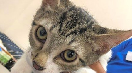 Want to adopt a pet? Here are 3 furry felines to adopt now in El Paso