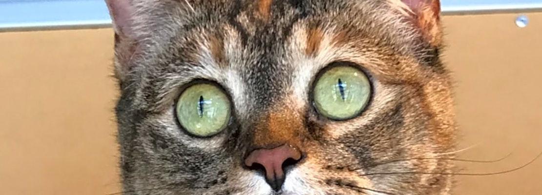 7 furry felines to adopt now in Colorado Springs