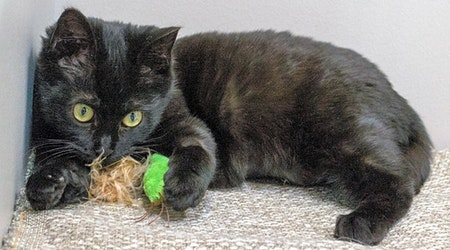 3 fluffy felines to adopt now in Chicago