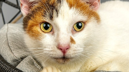 7 charming cats to adopt now in Cincinnati