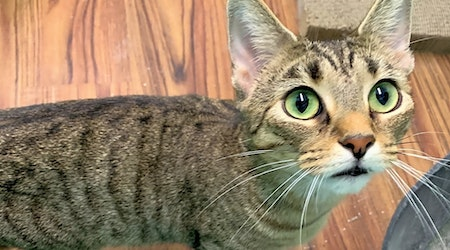 5 charming cats to adopt now in Indianapolis