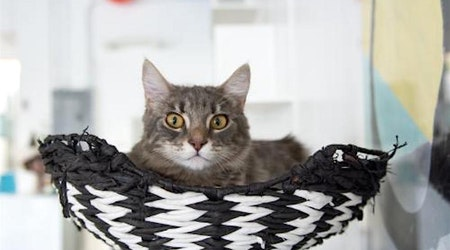 Looking to adopt a pet? Here are 4 charming cats to adopt now in San Jose