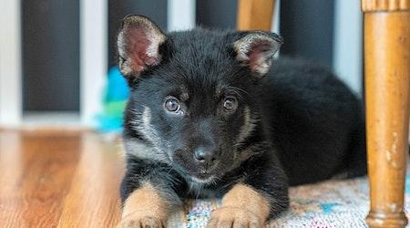 4 precious puppies to adopt now in Minneapolis
