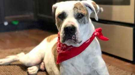 Want to adopt a pet? Here are 7 delightful doggies to adopt now in Houston