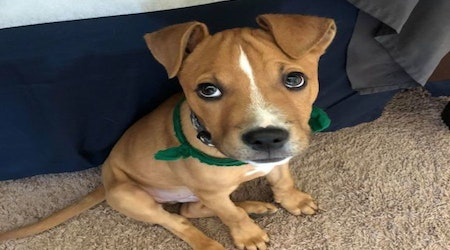 Want to adopt a pet? Here are 4 precious puppies to adopt now in Indianapolis