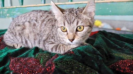 Looking to adopt a pet? Here are 7 cute-as-can-be kittens to adopt now in San Antonio