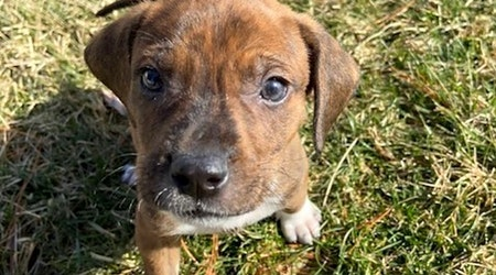 7 perfect puppies to adopt now in St. Louis