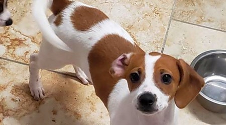 5 perfect puppies to adopt now in St. Louis