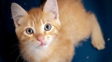 These San Jose-based kitties are up for adoption and in need of a good home