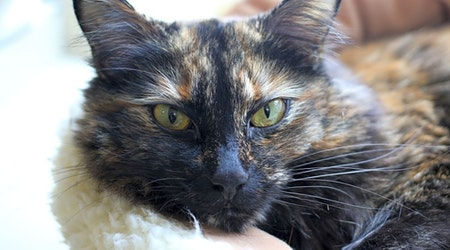 5 lovable kitties to adopt now in Portland