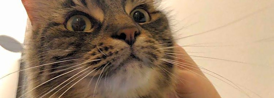 Want to adopt a pet? Here are 7 furry felines to adopt now in Jersey City