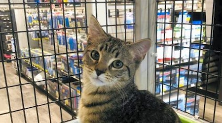 5 fluffy felines to adopt now in Orlando