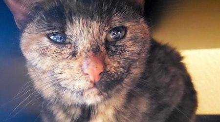 7 cool kitties to adopt now in Phoenix