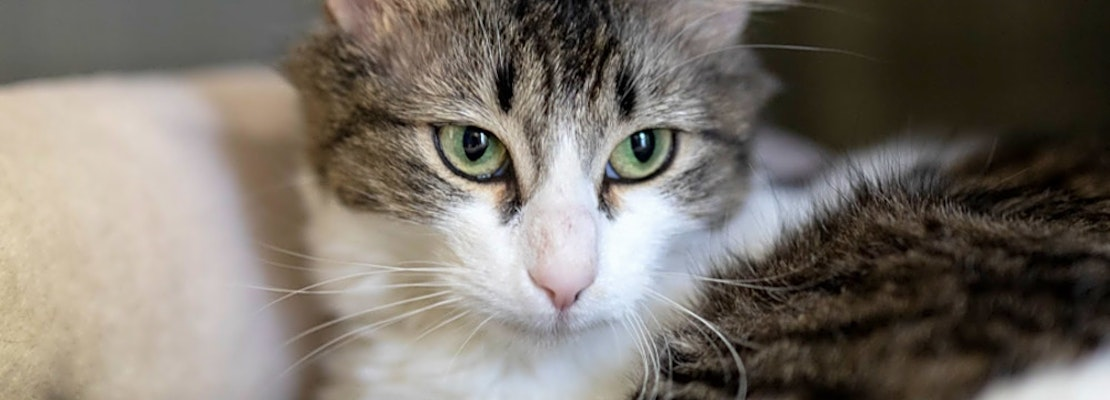 Want to adopt a pet? Here are 7 lovable kitties to adopt now in Houston