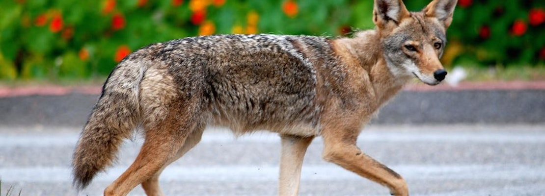 San Francisco's Latest Fortune-Hunters: The Coyotes of Golden Gate Park