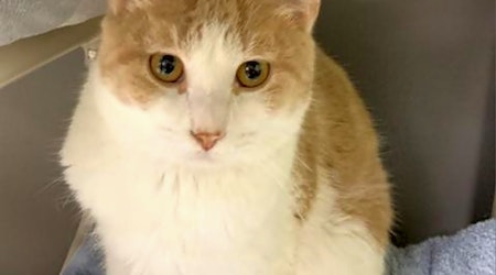 Want to adopt a pet? Here are 4 lovable kitties to adopt now in Austin