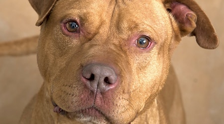 7 delightful doggies to adopt now in Chicago