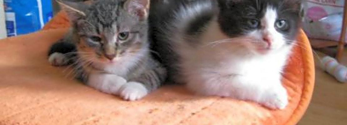 3 cute kitties to adopt now in Saint Paul