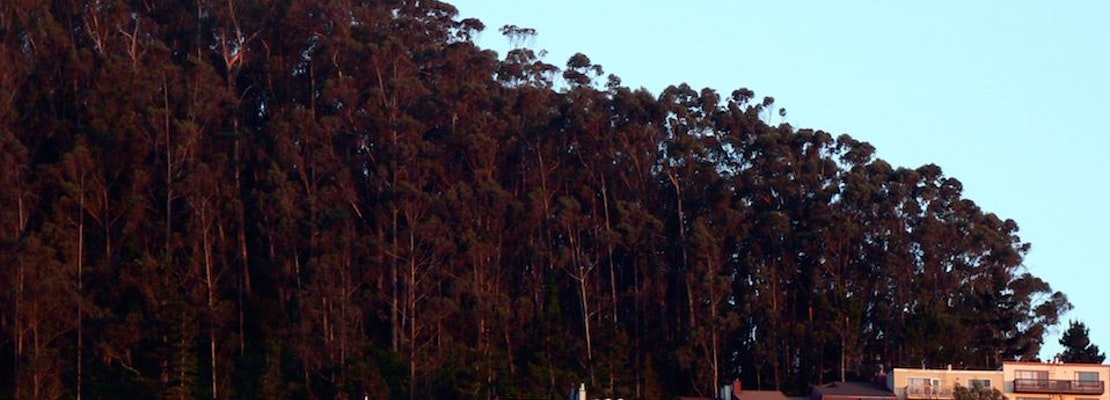 A Look Back: Logging Eucalyptus Trees On Mt. Sutro