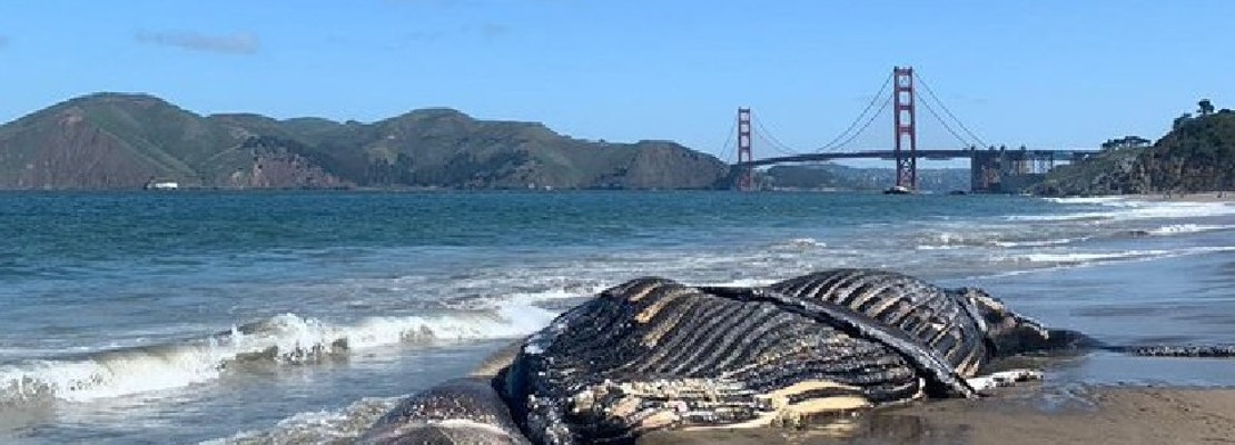 Dead humpback whale washes ashore at Baker Beach