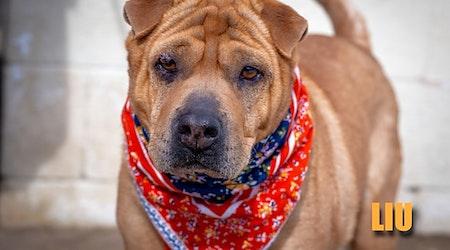 4 delightful doggies to adopt now in Aurora
