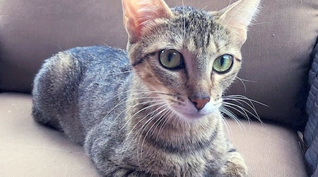 5 cool kitties to adopt now in Mesa