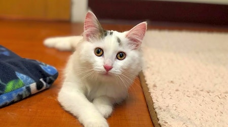 4 cuddly kittens to adopt now in Chicago
