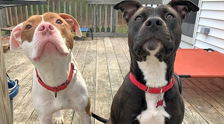 These Boston-based canines are up for adoption and in need of a good home