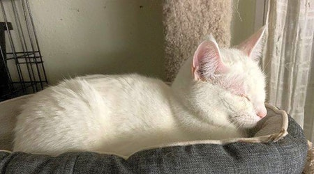 7 cool kitties to adopt now in St. Louis