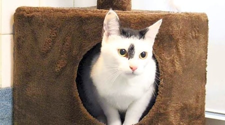 These cheeky Plano-based cats are up for adoption and in need of good homes