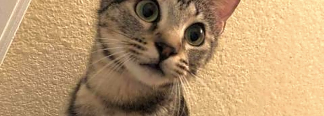 Want to adopt a pet? Here are 5 lovable kitties to adopt now in Austin