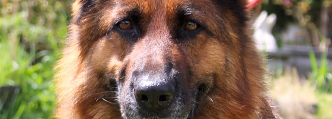 These Seattle-based canines are up for adoption and in need of a good home