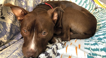 These Chicago-based doggies are up for adoption and in need of a good home