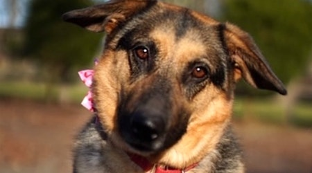 7 cuddly canines to adopt now in Seattle