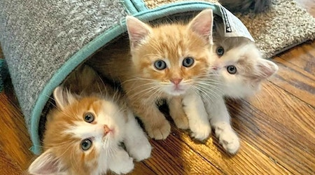 Looking to adopt a pet? Here are 3 cuddly kittens to adopt now in Cleveland