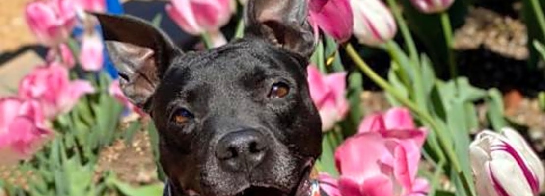These St. Louis-based dogs are up for adoption and in need of a good home
