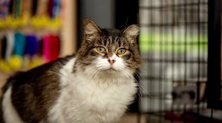 6 cool cats ready to adopt now in Dallas