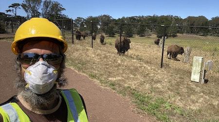 Herd mentality: Golden Gate Park bison get a new livestream