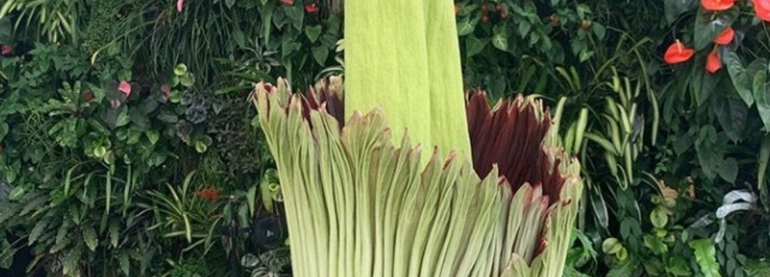 SF's famed 'corpse flower' is in bloom — and you can visit it safely