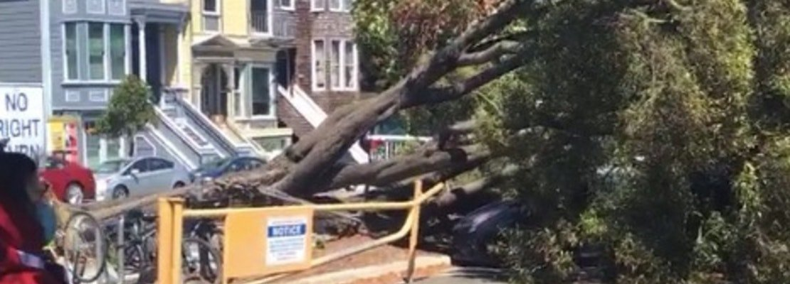 Two prominent Panhandle trees collapse in unrelated incidents